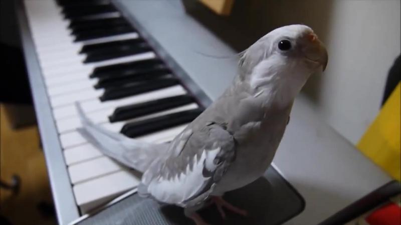 Işi scoate PAPAGALUL din colivie şi începe să cânte la PIAN, dar nici prin cap nu îi trecea ca papagalul lui să facă aşa ceva! Ma cucerit cu primul sunet scos... adorabil