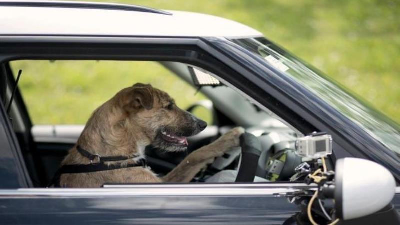Este HALUCINANT ce vei vedea în acest video, dar au învăţat un câine să conducă o maşină aproape ca un OM în doar 2 săptămâni!