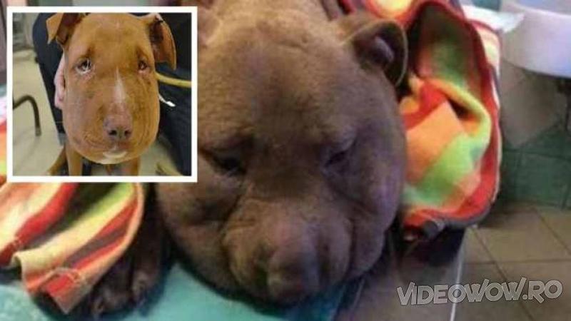 Pare o ANOMALIE de câine cu un cap imens, dar defapt este cruzimea unor oameni care au vrut să STRANGULEZE acest biet sufleţel: Când ai să vezi cum a fost salvat în ultima clipă... îţi va da lacrimile de emoţie şi durere!