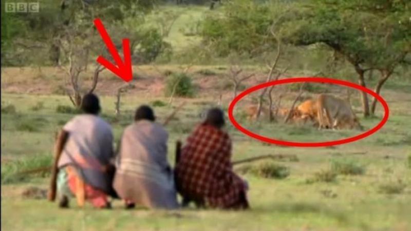 Ce fac aceşti oameni cu LEII din junglă pare HALUCINANT dar când ai să vezi modul lor de a FURA prada leilor vei încremeni pe loc! Nici prin cap nu imi trecea aşa ceva... incredibil!!