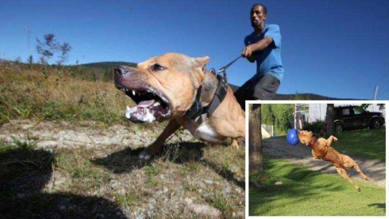"""Este cel mai antrenat şi mai PERICULOS câine PitBull din lume, iar agilitatea sa de a imobiliza un om este pur şi simplu FANTASTICA! Nimic nu stă în calea acestui mic """"luptător"""""""