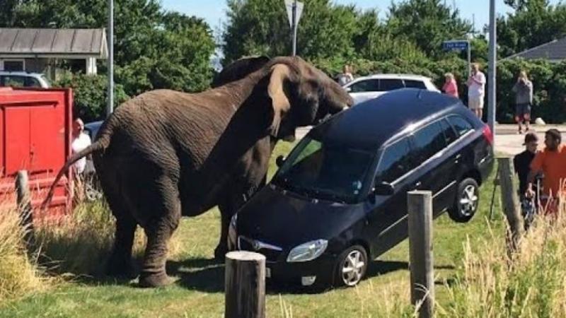 Iată ce se întâmplă când un ELEFANT este ameninţat şi hăituit cu RANGA! Imagini îngrozitoare cu aceste animale blânde care au devenit AGRESIVE din cauza oamenilor!