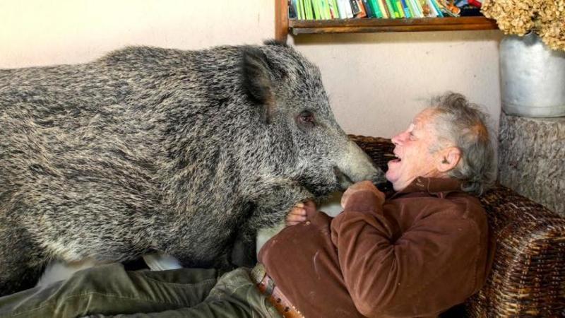 La prima vedere pare înfiorător să vezi un porc MISTRET sălbatic peste un om... dar uităt-te puţin mai atent ce fac ce doi... nu îţi va vine să crezi o asemenea prietenie stranie! WOW
