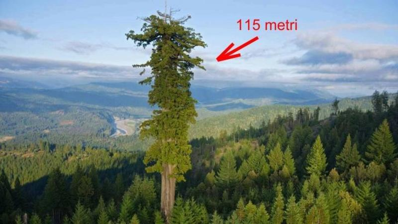 Este cel mai înalt COPAC din lume şi măsoară 115 metri înălţime şi 110 ani vechime, iar ca să urci în vârful lui îţi trebuie aproximativ o săptămână de pregătiri şi eforturi! Cum arată cel mai falnic copac filmat vreodată te va lăsa fără cuvinte cu frumuseţea lui răpitoare!
