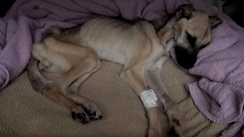 De luni de zile acest câine a fost înfometat intenţionat şi lăsat să moară: Dar când aproape renunţase la viaţă... nimeni nu se mai aştepta la un asemenea MIRACOL din partea lui! Emoţionant