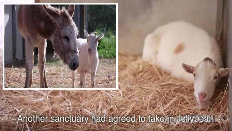 De zile întregi această capră nu a mai mâncat nimic şi nu a mai ieşit din ţarcul ei dintr-un motiv ieşit din comun! Când ai să vezi ce o apasă pe suflet îţi vor da lacrimile de emoţie!