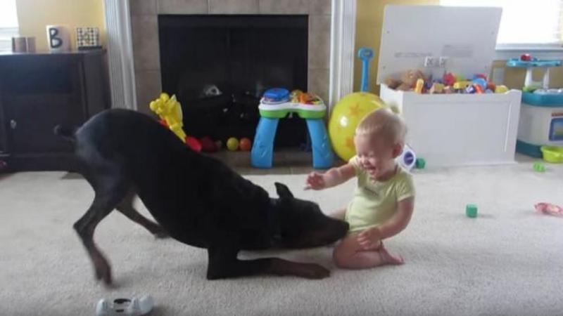 Dobermanul se repede la acest copilaş şi îl MUSCA de burtică, dar ce se întâmplă dupa câteva secunde... mi-a stat inima în loc! Incredibil reacţia câinelui