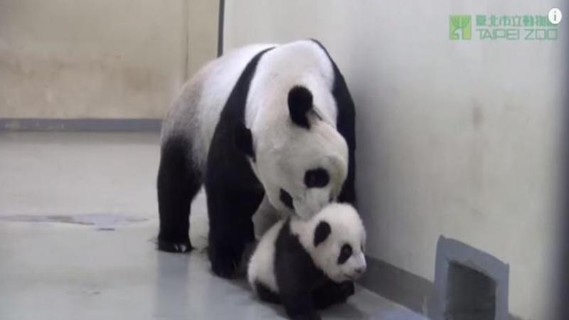 Puiuţul de urs PANDA rătăcea pe culoarele grădini zoologice la ora lui de somn: Dar fi atent cum îşi aduce mămica micuţul sufleţel înapoi la culcare... Extraordinar