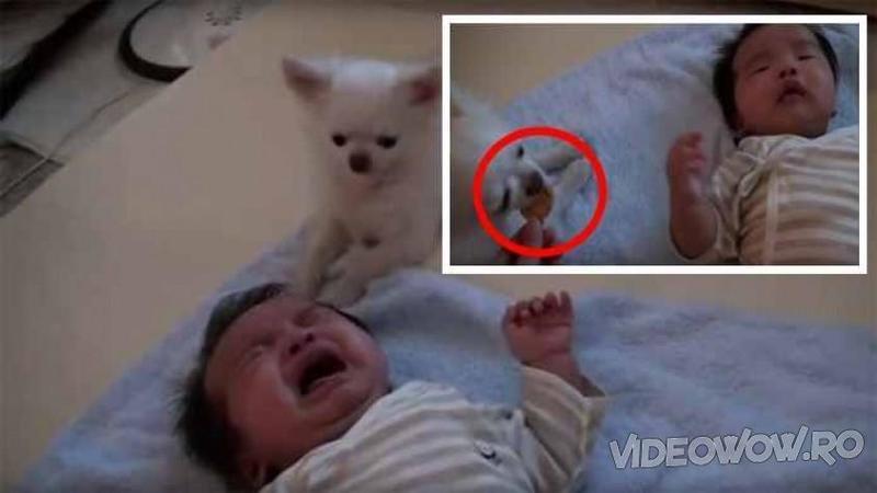 Micuţul plângea necontenit pe plăpumica lui când deodată câinele se apropie de el pentru a-l linişti! Ce îi aduce bebeluşului morocănos... mai că îţi vine să îl sufoci în braţele tale! E genial acest câine