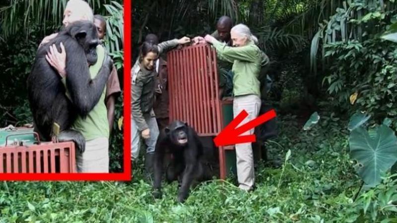 Salvează acest cimpanezu de la MOARTE, şi îl eliberează în junglă: Dar ce face în momentul în care a fost eliberat... mi-au dat LACRIMILE... Un gest EMOTIONANT
