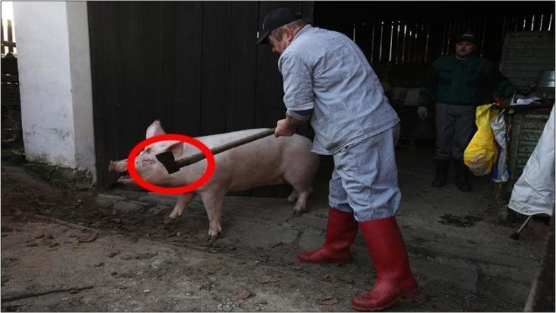 Adevărul SOCANT despre cum sunt crescuţi porcii care ajung pe mesele noastre!! O realitate crudă a măcelului care se întâmplă în crescători