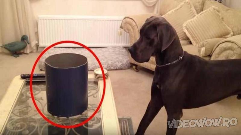 Pune pe masă în faţa masivului câine o CUTIE suspectă din care ieşeau sunete ciudate: Ce creatură conţine misterioasa cutie m-ai că m-a făcut să cad pe jos de râs