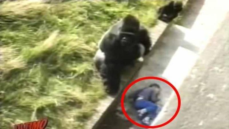 Un copilaş CADE în incinta GORILELOR de la o grădină Zoologică: Ce se întâmplă după... nu îţi va vine să crezi! Mi-a stat inima în loc când am văzut ce se petrece... Dumnezeule cât curaj!