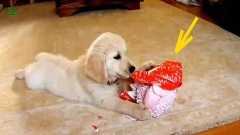 Micuţul câine primeşte primul lui CADOU de Crăciun: Modul în care îl desface cu foarte mult ENTUZIASM te va face să apreciezi mai mult cadourile primite de Crăciun!