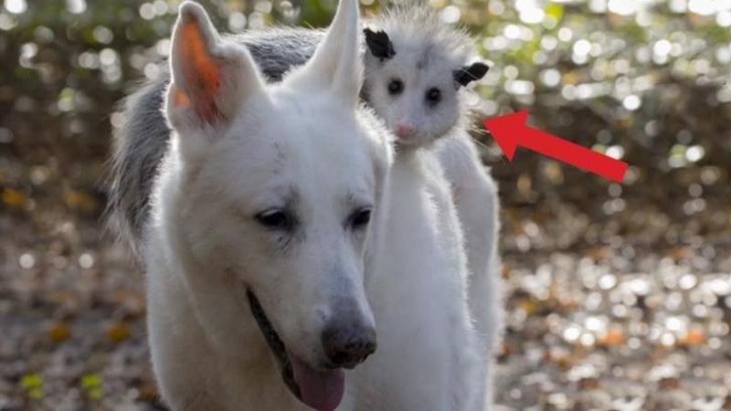 Când am văzut ce cară acest câine pe spatele său nu mi-a venit să cred! Dar motivul pentru care o face este unul care te va IMPRESIONA până la lacrimi!