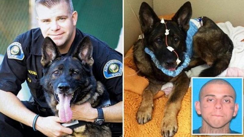 Acest CAINE poliţist a fost împuşcat în cap în timp ce i-a salvat viaţa partenerului său: Ce au făcut toţi oamenii şi doctorii pentru ca EROUL nostru să trăiască... depăşeşte orice imaginaţie! Emoţionant