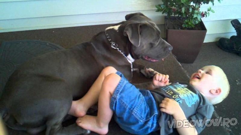 O mămică a adus acasă un PITBULL fioros! Ce i-a făcut câinele copilaşului ei este de-a dreptul şocant!