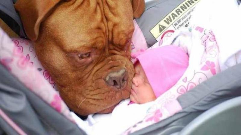 Acest câine simte PERICOL pentru micuţul lui stăpân: Ce reacţie are pentru a proteja bebeluşul de orice problemă nu îţi va vine să crezi, cu siguranţă te va impresiona comportamentul lui ieşit din comun de drăgăstos