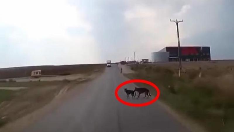 Maşina abia a putut evita cei doi câini aflaţi pe carosabil pentru a nu intra în ei: Dar ce face cel din urmă patruped pentru a-i SALVA viaţa amicului său neatent... m-a lăsat cu gura căscată! Extraordinar
