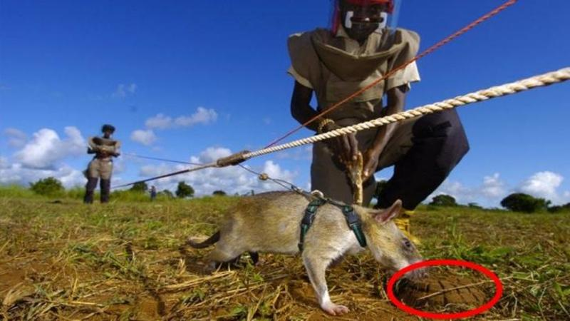 Au pus un HAM pe acest SOBOLAN şi l-au trimis pe câmp: Motivul pentru care au făcut lucru ăsta a salvat viaţa a milioane de oameni... De necrezut ce sunt în stare aceste creaturi!