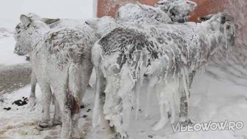Când s-au apropiat de aceste SILUETE pline de zăpadă şi gheaţă nu le-au venit să creadă ce văd în faţa ochilor... este şocant cum cineva a putut să lase bietele animale în GERUL aprig de afară!