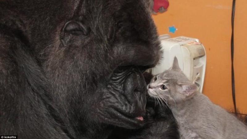 Micuţa pisicuţă se apropie de această FIOROASA gorilă şi într-o clipită ceva neaşteptat se întâmplă: Când am văzut gestul gorilei nu mi-a venit să cred... mi-a atins sufletul cu gingăşia şi afecţiunea ei... ADORABIL