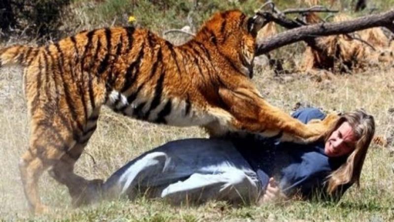 STUPEFIANT - Un tigru atacă şi sfâşâie un om în doar câteva secunde, dar când vei realiza că totul este defapt o CASCADORIE bine pusă la punct vei răsufla uşurat...