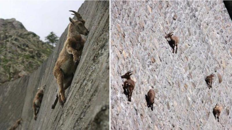 Sunt unele dintre cele mai SPECTACULOASE animale de pe pământ iar acrobaţiile lor îţi vor tăia răsuflarea: Când ai să vezi unde se hrănesc aceste CAPRE de munte te ia cu ameţeală... WOW
