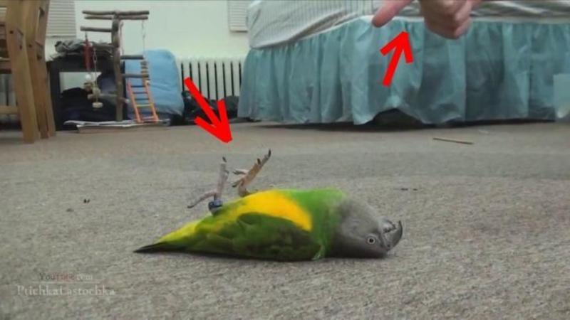 A îndreptat DEGETUL spre acest micuţ papagal şi... Dumnezeule, a MUTIR pur şi simplu fără nici o explicaţie! Un eveniment... care îţi va aduce zâmbetul pe buze