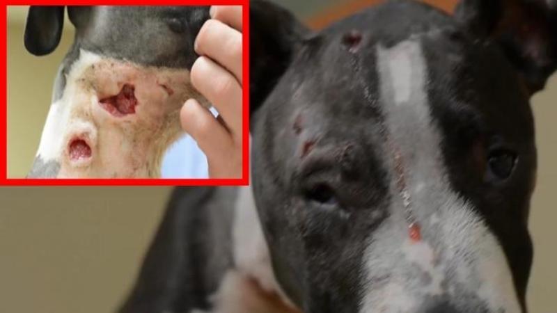 Mai mult MORT decât viu... aşa a fost găsit acest câine plin de sânge pe stradă unde zile întregi a fost bătut şi SCHINGIUIT de către oameni fără suflet! Cum arată acum este o MINUNE
