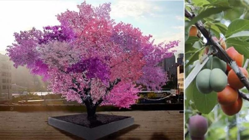 Copacul în care creşte 40 de soiuri de fructe DIFERITE! Este un spectacol al naturi şi toţi cei care îl văd spun că este o MINUNE lăsată de la Dumnezeu