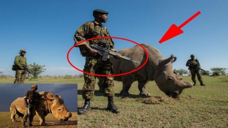 Ultimul rinocer alb din LUME! Iată cum este păzit 24h din 24 mai rău ca un preşedinte de frica BRACONIERILOR care au dus la dispariţia definitivă a acestor animale!