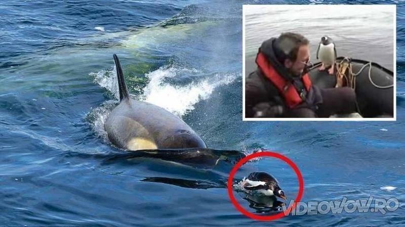 Un grup de BALENE ucigaşe înconjuraseră barca în care se aflau... când deodată ceva straniu se petrece chiar în faţa lor - La ce au asistat speriaţi... nici lor nu le-a venit să creadă una ca asta! Incredibil