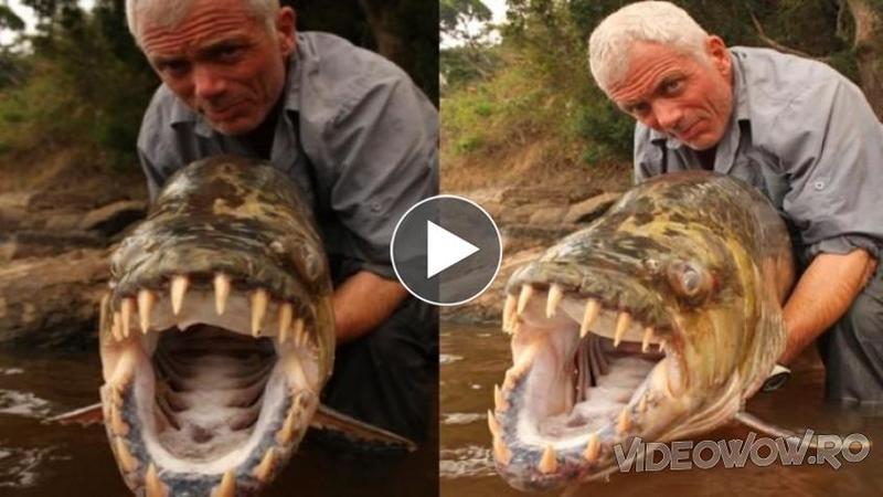 Are 50 de kg şi poate mâncă CROCODILI fără nici o problemă: Este cel mai mare peşte PIRANIA prins vreodată! Iată cum arată un asemenea MONSTRU înfiorător...