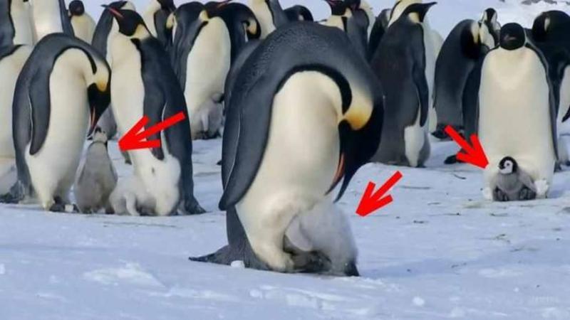 Au surprins un PINGUIN făcând asta puiului ghemuit de sub el, dar când camerele se îndepărtează de ei... Dumnezeule la ce am asistat, nu îmi vine să cred cât de frumos îşi cresc aceste animale puişorii!