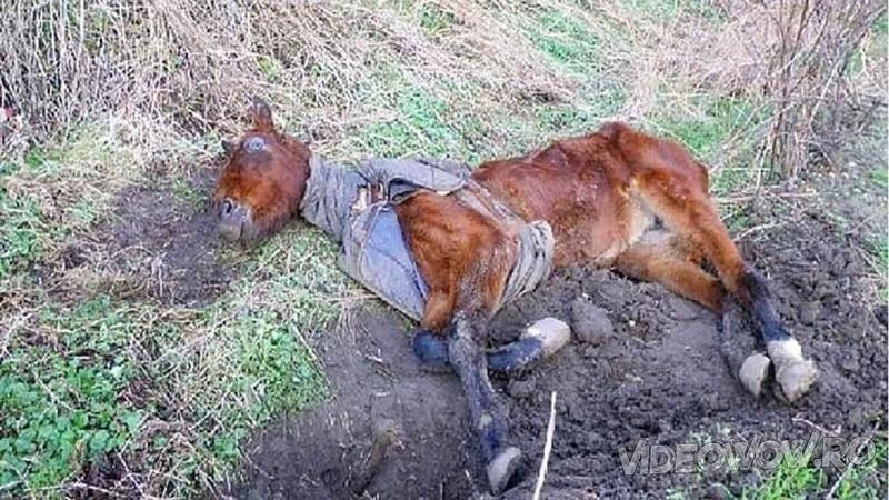 Au găsit pe câmp mai mult un CADAVRU al unui cal decât un animal viu şi cu ultimele lor forţe l-au adus acasă în siguranţă! Ce s-a întâmplat apoi pentru micuţul suflet abandonat şi lăsat să moară este o adevărată minune!