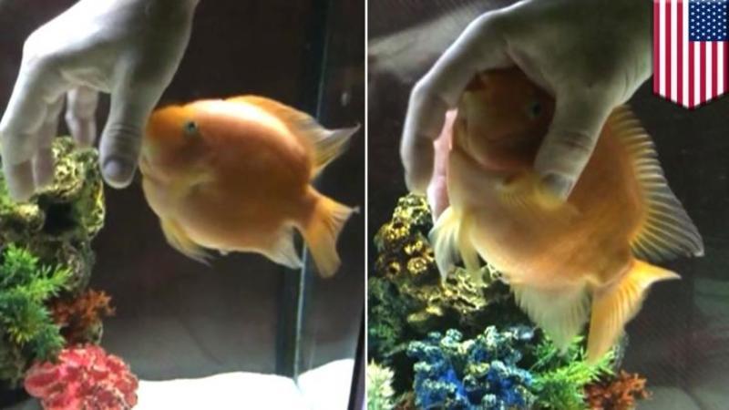 Nu credeam că peştii au SENTIMENTE... până când am văzut ce face acest micuţ cu mâna stăpânului său! Am rămăs complet şocat... uite ce SCUMPETE