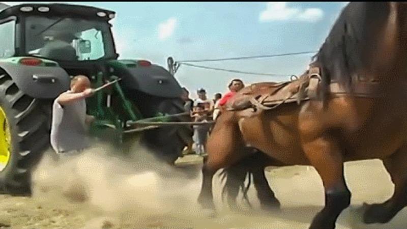 Cei mai puternici cai din lume testati chiar de stapanii lor. Sunt supusi unor teste greu de imaginat.