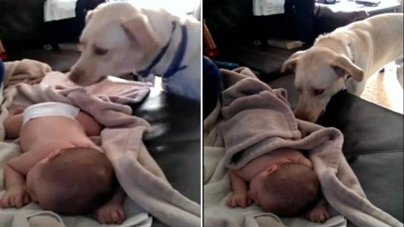 Un câine curios se apropie de bebeluşul care DORMEA liniştit: Ce se întâmplă când îl vede pe micuţ DEZVELIT... mi-a atins inima de fericire gestul lui fenomenal! Uite cât de grijuliu poate să fie...