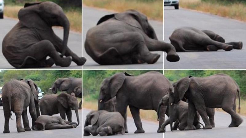 Puiul de ELEFANT se prăbuşeşte fără ajutor chiar în mijlocul străzi, dar ce face această mamă îngrijorată pentru al readuce la viaţă este cu adevărat impresionant!