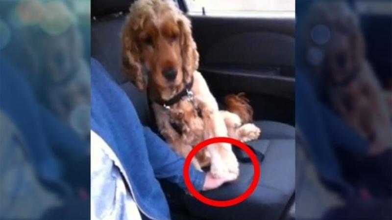 Are o FRICA teribilă de mersul în maşină, iar singurul lui mod de a scăpa de ea este unul care îţi va atinge inima! Ce face acest micuţ cu mâna stăpânului său este adorabil