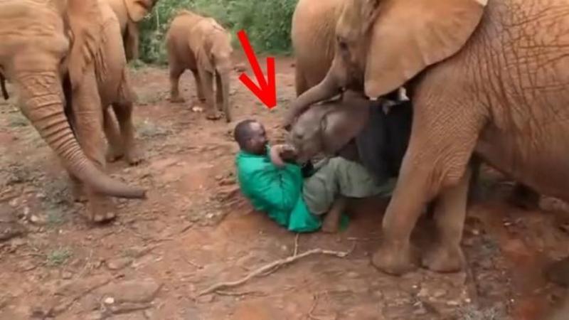 Acest micuţ pui de elefant a fost ABANDONAT de către mama sa din cauză braconierilor şi călătoreşte 1000 de km pentru a se reuni cu ea datorită acestor oameni FORMIDABILI!