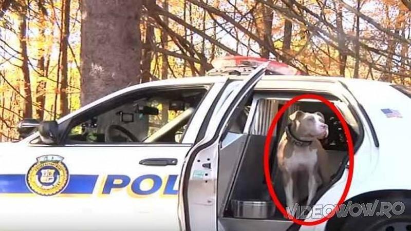 Toţi fugeau de acest PITBULL fioros care urma să fie eutanasiat, asta până când un ofiţer de poliţie îl i-a şi îl bagă în maşina lui! Ce s-a întâmplat câteva luni mai târziu... O adevărată premieră pentru toată poliţia din întreaga lume