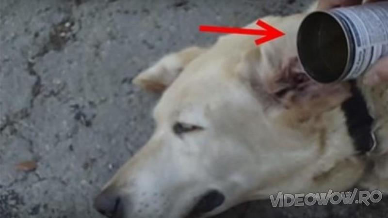 Varsă OTET de mere în urechea câinelui şi apoi începe să o maseze! Ce s-a întâmplat după câteva minunte în care câinele a stat cu oţetul în ureche... nu mă aşteptam la asemenea rezultat! Ce a putut să scoată de acolo... WOW