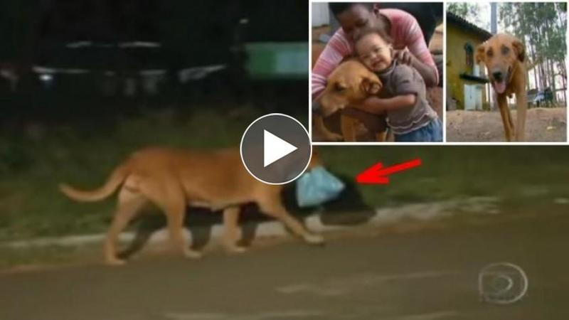 In fiecare noapte acest câine care a fost ABANDONAT şi crescut la groapa de gunoi DISPARE fără ca nimeni să nu ştie unde: Când l-au urmărit şi au văzut ce aduce înapoi au rămas INCREDULI, este emoţionant ce face acest câine pentru familia cu care trăieşte