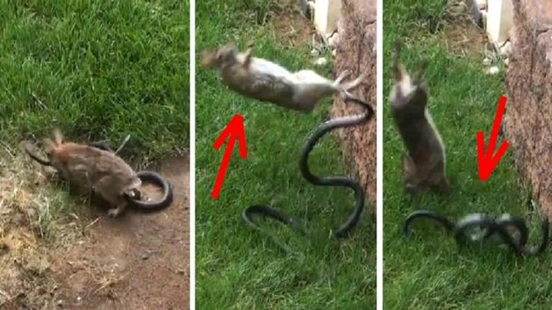 Cine se gândea că o mamă iepurioaică poate fi atât de curajoasă? Când şi-a văzut puii aproape de a fi omorâţi de un şarpe iată la ce gest incredibil a recurs... FENOMENAL