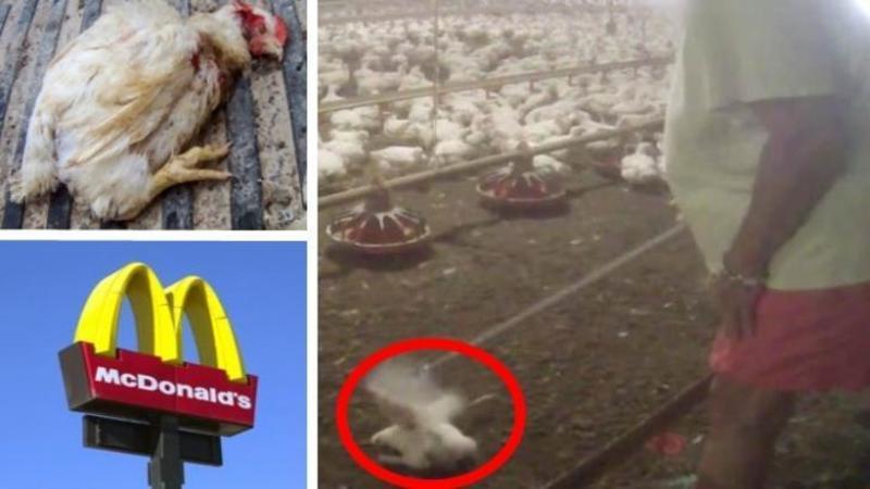 Iată cum sunt torturaţi şi omorâţi PUII pe care îi mănânci la McDonald?s: Un video ORIPILANT care te va lăsa şocat