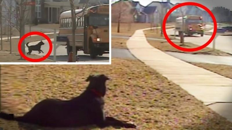 Acest câine aşteaptă liniştit autobuzul care îl aduce înapoi acasă pe micuţul său stăpân, dar când ai să vezi ce reacţie are la vederea lui... te va lăsa complet UIMIT! Uite cât DEVOTAMENT şi iubire poate să aibe aceste animale... De nedescris