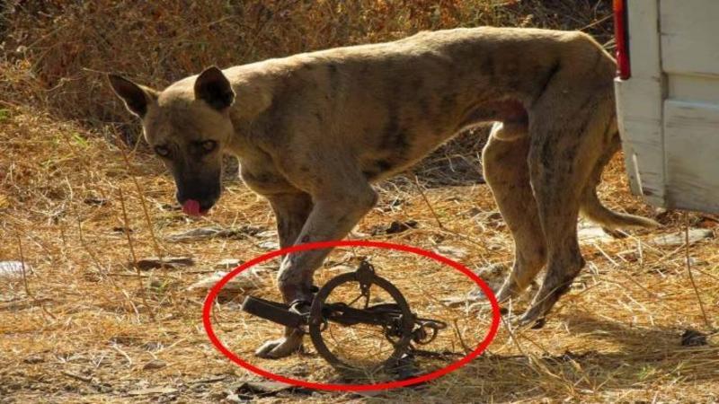 L-au găsit în AGONIE cu lăbuţa prinsă într-o capcană pentru animalele sălbatice: Ce a urmat pentru acest biet suflet este un adevărat MIRACOL... Dumnezeule ce suflete au aceşti eroi!