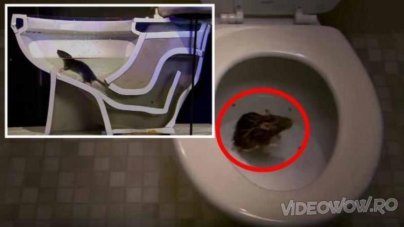Au deschis capacul WC-ului şi au găsit un SOBOLAN înăuntru: Când ai să vezi cum a ajuns acolo... te vei gândii de 2 ori înainte să te mai duci la toaletă!